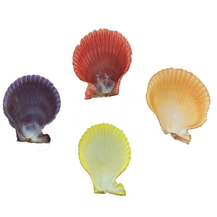 CONCHA SHELL COLOR REF:28