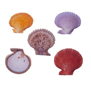 CONCHA DO MAR PECTEN COLOREDE COM 750 GRAMAS
