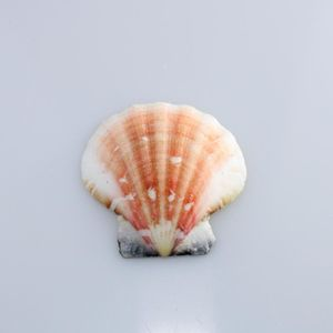 Concha Do Mar Bractechlamys Vexillum 4.5x4.5 Natural Com 750gr